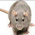 معرفی مستربچمقاوم سازی لوله های پلی اتیلن در برابر تخریب توسط جوندگان (موش)